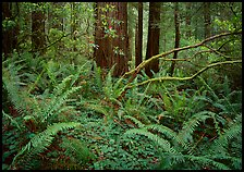 Ferms and trees in  spring, Del Norte. Redwood National Park, California, USA. (color)