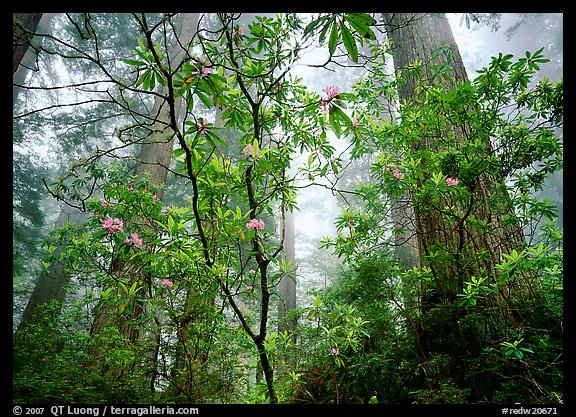 Looking up forest with fog and rododendrons, Del Norte Redwoods State Park. Redwood National Park (color)