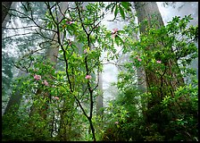 Looking up forest with fog and rododendrons. Redwood National Park, California, USA.
