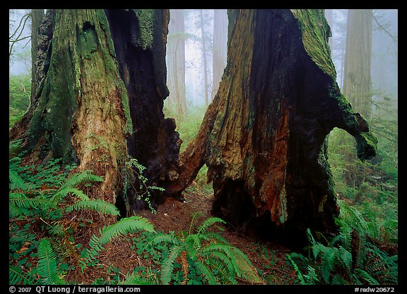 Hollowed redwood in fog, Del Norte. Redwood National Park (color)