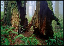 Hollowed redwood in fog, Del Norte. Redwood National Park, California, USA.