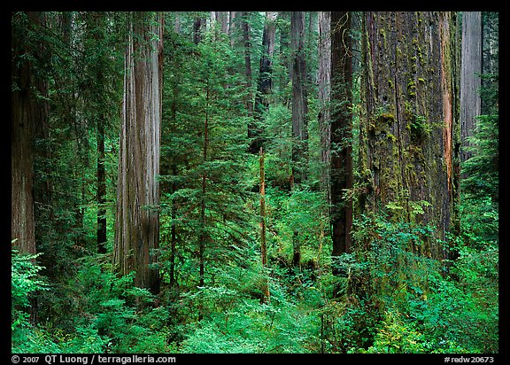 Old-growth redwood forest, Howland Hill. Redwood National Park (color)