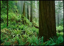 Ferns and trunks, foggy forest, Del Norte Redwoods State Park. Redwood National Park, California, USA.