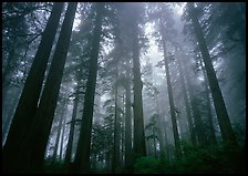 Tall coast redwood trees (Sequoia sempervirens) in fog, Lady Bird Johnson grove. Redwood National Park, California, USA. (color)
