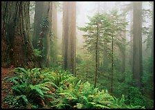 Ferns, coast redwoods, and fog, Del Norte. Redwood National Park, California, USA.