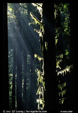 Moss and backlighted branches. Redwood National Park (color)