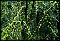 Alder and mosses. Redwood National Park, California, USA. (color)