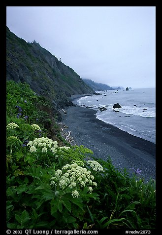 Wildflowers and beach with black sand in foggy weather, Del Norte Coast Redwoods State Park. Redwood National Park (color)