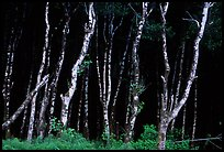 Light Trees near Fern Canyon, Prairie Creek Redwoods State Park. Redwood National Park ( color)