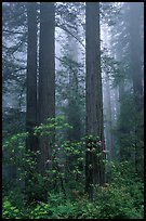 Redwood and rododendron trees in fog, Del Norte. Redwood National Park, California, USA.