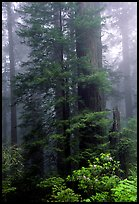 Large redwood trees in fog, with rododendrons at  base, Del Norte. Redwood National Park, California, USA.