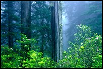 Rododendrons and redwood grove in fog, Del Norte. Redwood National Park, California, USA. (color)