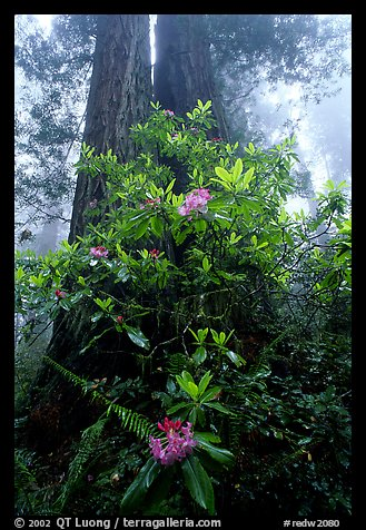 Rododendrons at base of twin redwood trees, Del Norte Redwoods State Park. Redwood National Park (color)
