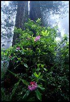 Rododendrons at  base of twin redwood trees, Del Norte. Redwood National Park, California, USA. (color)