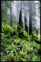 Ferns, burned redwood trees, and fog, Del Norte Redwoods State Park. Redwood National Park, California, USA.