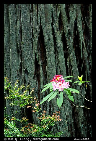 Rhodoendron flower and redwood trunk close-up. Redwood National Park, California, USA.