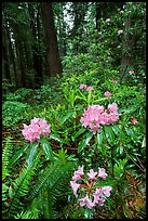 Rhodoendron flowers after  rain, Del Norte. Redwood National Park, California, USA. (color)