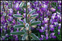 Lupine close-up. Redwood National Park, California, USA. (color)
