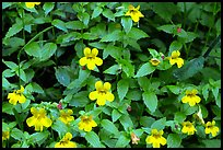 Close-up of yellow wildflowers. Redwood National Park ( color)