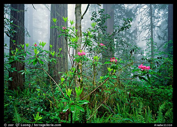 Rododendrons, redwoods, and fog, Lady Bird Johnson Grove. Redwood National Park (color)