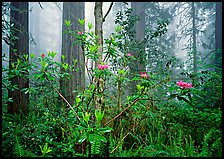 Rododendrons, redwoods, and fog, Lady Bird Johnson Grove. Redwood National Park, California, USA. (color)