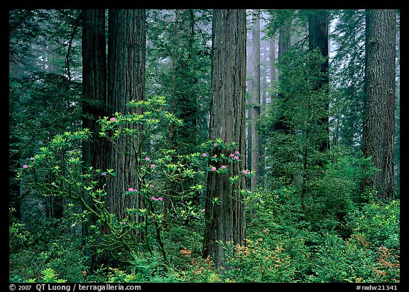 Rododendrons, redwoods, and fog, Del Norte. Redwood National Park (color)