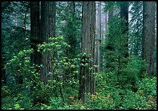 Rododendrons, redwoods, and fog, Del Norte Redwoods State Park. Redwood National Park, California, USA.
