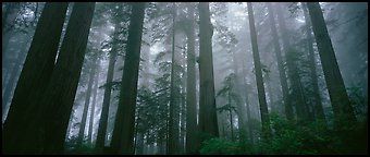 Tall forest in mist, Lady Bird Johnson Grove. Redwood National Park (Panoramic color)
