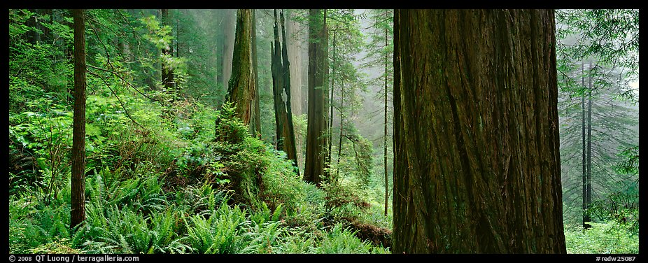 Misty forest and ferns. Redwood National Park (color)