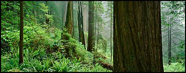 Misty forest and ferns. Redwood National Park, California, USA.