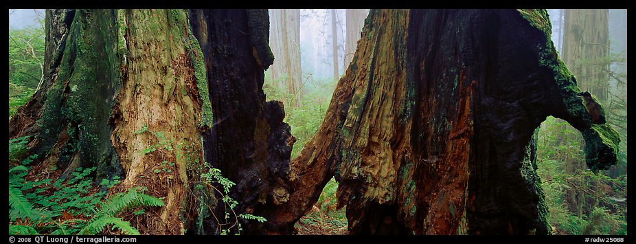 Hollow ancient tree in the fog. Redwood National Park (color)