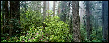 Spring forest with rhododendrons. Redwood National Park (Panoramic color)
