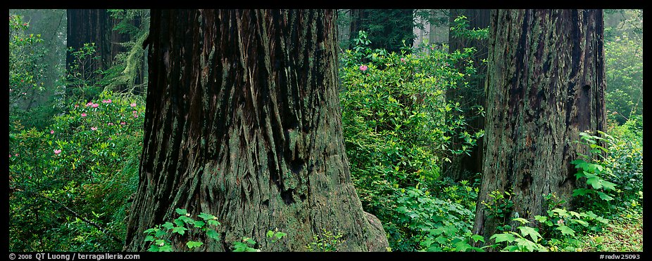 Redwood tree trunks and rhododendrons. Redwood National Park (color)