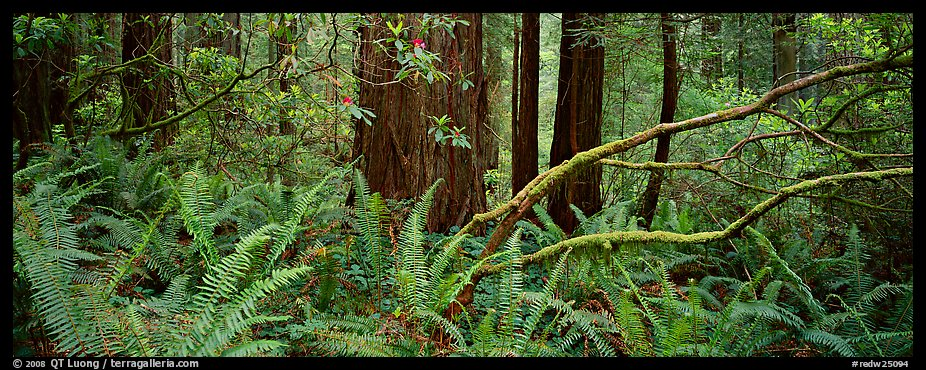 Forest in spring with ferns, redwoods, and rhododendrons. Redwood National Park (color)