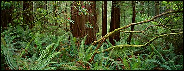 Forest in spring with ferns, redwoods, and rhododendrons. Redwood National Park (Panoramic color)