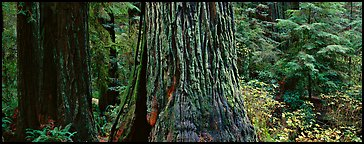 Huge redwood tree trunks. Redwood National Park (Panoramic color)