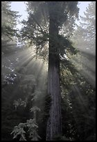 Redwood tree and sun rays in fog. Redwood National Park, California, USA.