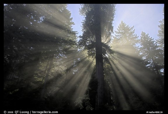 God's rays in redwood forest. Redwood National Park, California, USA.