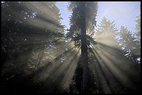 God's rays in redwood forest. Redwood National Park, California, USA. (color)