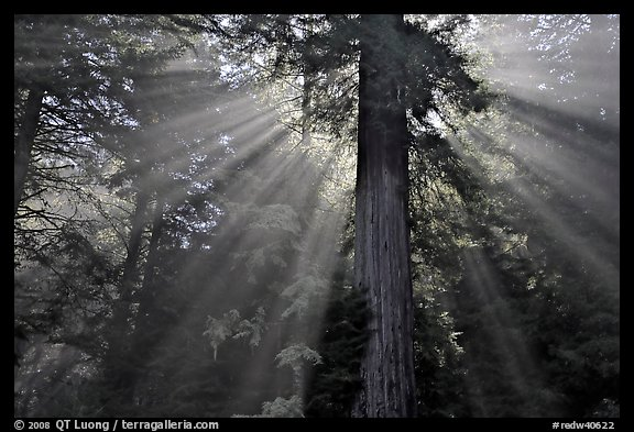 Sun rays diffused by fog in redwood forest. Redwood National Park, California, USA.