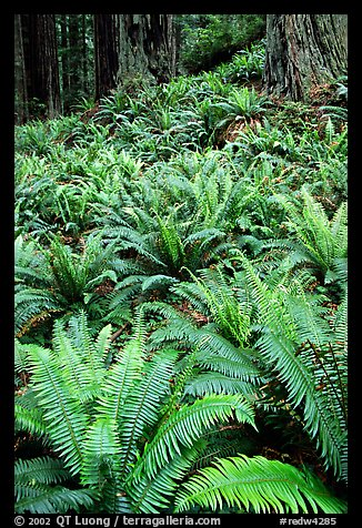 Pacific sword ferns and redwood trees, Prairie Creek. Redwood National Park (color)
