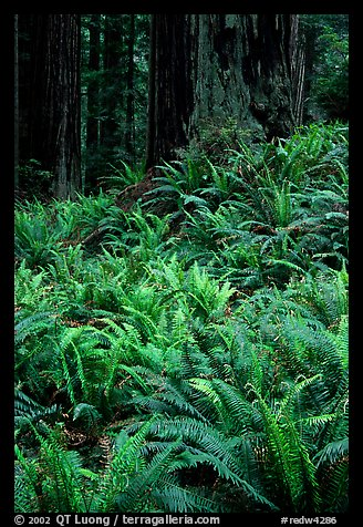 Dense pacific sword ferns and redwoods, Prairie Creek. Redwood National Park, California, USA.
