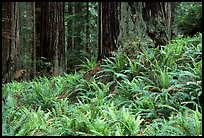 Pacific sword ferns in redwood forest, Prairie Creek. Redwood National Park, California, USA.