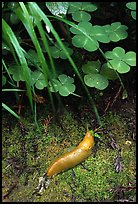 Banana Slug, Prairie Creek. Redwood National Park, California, USA.