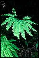 Ferns, Fern Canyon. Redwood National Park, California, USA. (color)