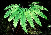 Single fern, Fern Canyon. Redwood National Park, California, USA. (color)