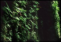 Vertical wall entirely covered with ferns, Fern Canyon. Redwood National Park, California, USA. (color)