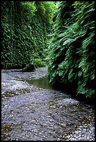 Stream and walls covered with ferns, Fern Canyon. Redwood National Park, California, USA.