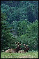 Bull Roosevelt Elks in meadow, Prairie Creek. Redwood National Park, California, USA.