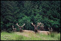 Herd of Bull Roosevelt Elks, Prairie Creek. Redwood National Park, California, USA. (color)
